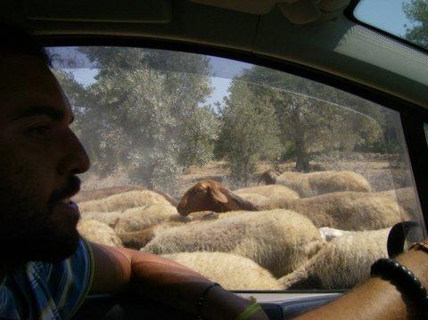 i dintorni - pecore!