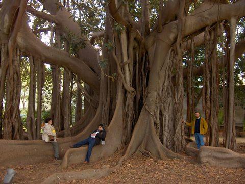 web magnolia gigante