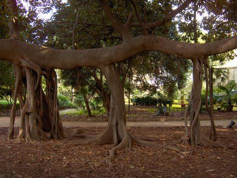 web magnolia radici